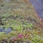 Water of Leith Moss