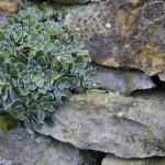 Alpine Wall Plant 2