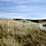 Dandelion in Flight