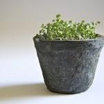 Thyme Seedling