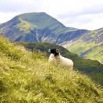 Sheep on Catbells