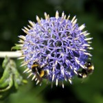 Bees on Flower head