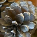 Silver Fir Cones