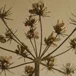 Wild Fennel from Below