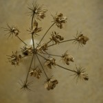 Wild Fennel Seed Head – Above