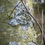 Lichen on Tree
