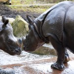 Playful Rhinos