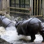Edinburgh Zoo Rhinos