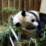 Yang Guang having a nap (Edinburgh Zoo panda)
