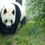 Tian Tian exploring her pen (Edinburgh Zoo female panda)