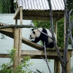 Tian Tian went for a climb
