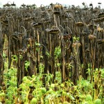 Field of dead sunflower