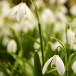 Snowdrops in Portrait