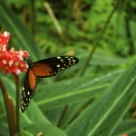 Hecales's Longwing at Butterfly World