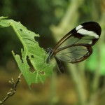 Glasswing Butterfly at Butterfly World