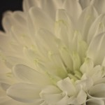 Chrysanthemum Side View
