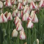 Ottawa Tulip Festival 2013
