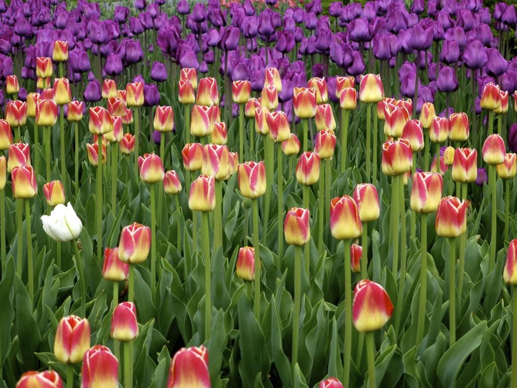 Ottawa Tulip Festival - Dows Lake