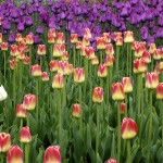 Ottawa Tulip Festival – Dows Lake