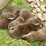 Otters Napping