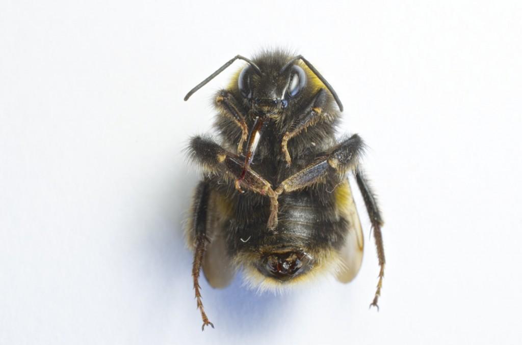 Bee's Tummy