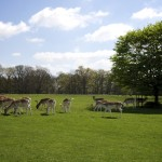 Attingham Park Deer Park