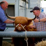 Preparing the Highland Cow