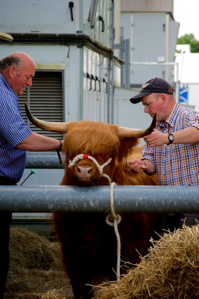 Preparing the Highland Cow