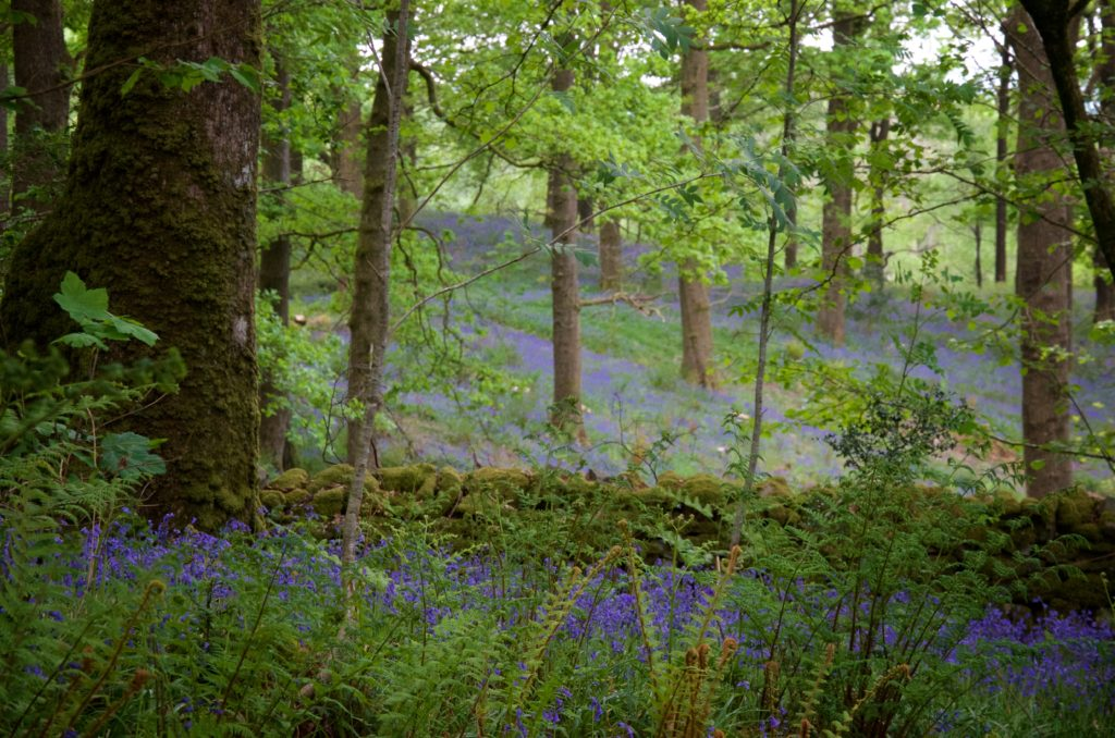 Bluebells as far as the eye can see