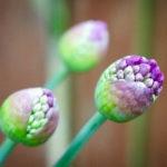 Allium-3