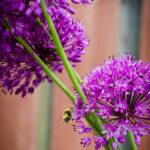 Allium-Open