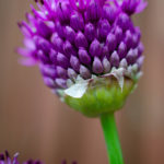 Allium-Update-3